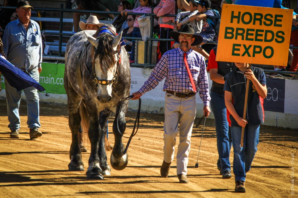 Purebred horse at the Royal Queensland Show