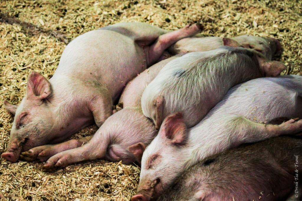 Piglets in the Animal Nursery Pavilion
