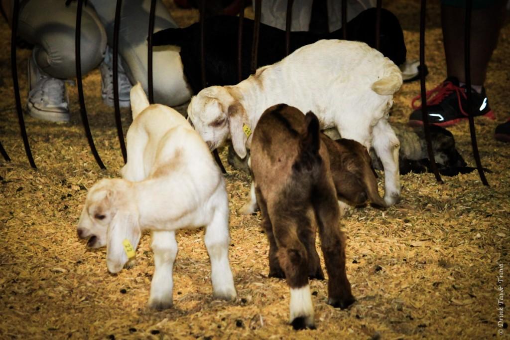 Little lambs roaming around the Animal Nursery Pavilion