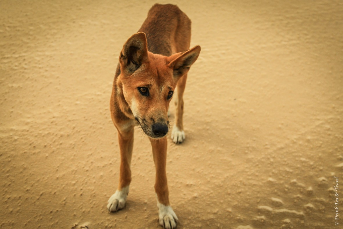 Camping on Fraser Island: This dingo looks friendly, but he's not