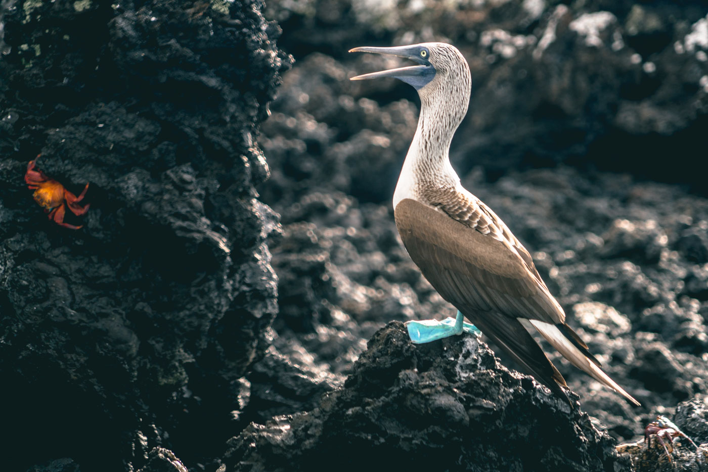 Blue footed booby eyeing a red crab on the lava rocks on Isabela Island