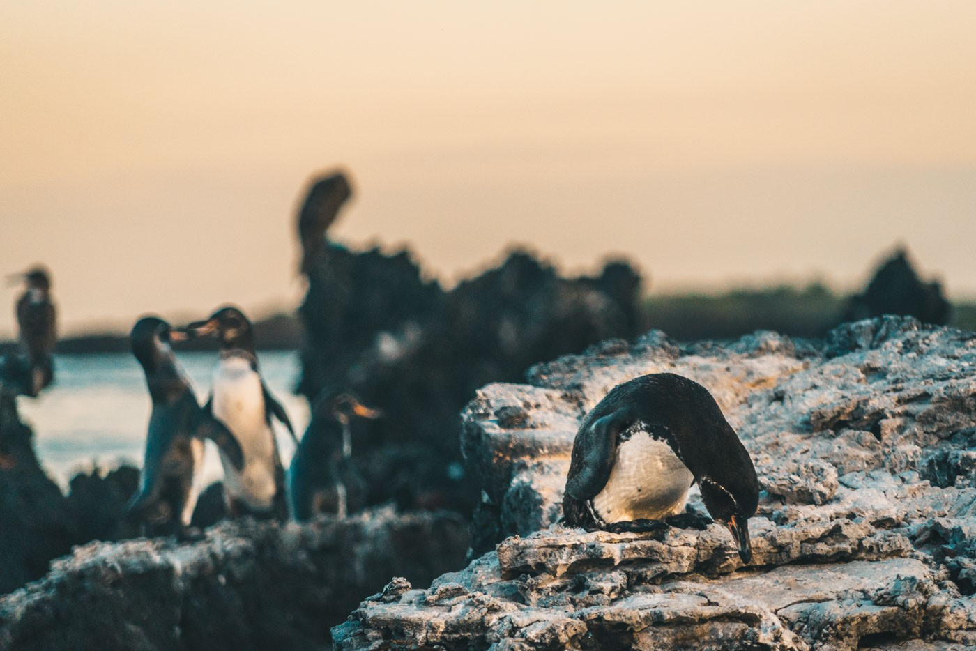 Penguins on Tintorenas, Isabela Island. Galapagos