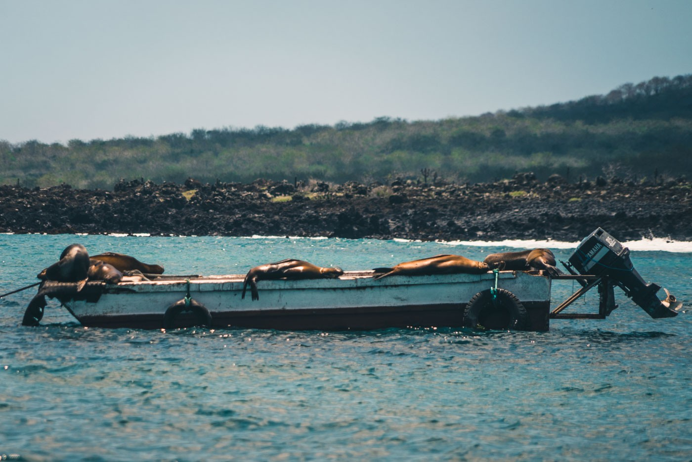A group of lazy sea lions catching the mid day rays aboard a fishing boat on San Cristobal Island. Galapagos