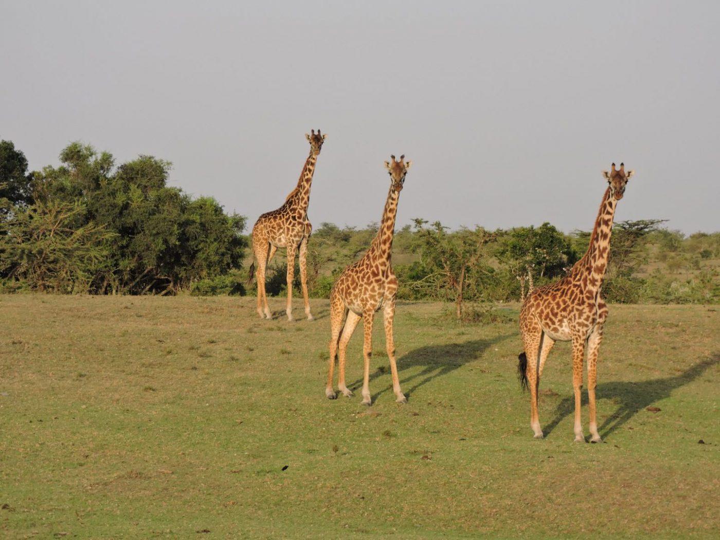 Safari Lodges in Kenya: giraffes