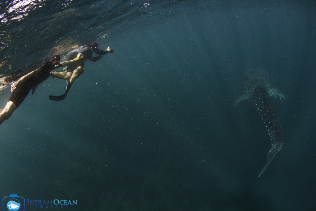 Photo by Indian Ocean Imagery courtesy of Kings Ningaloo Reef Tour, swimming with whale sharks