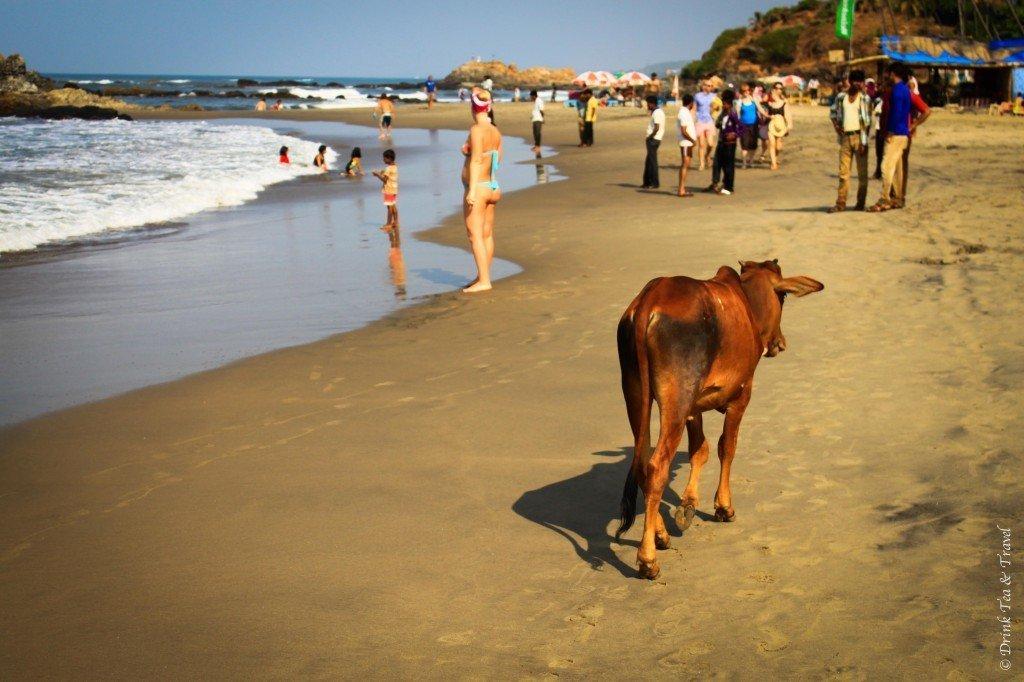 Cow on Vagator beach in Goa, India