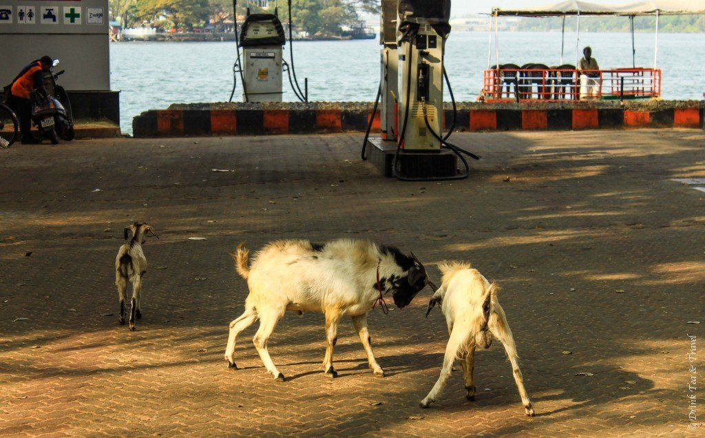 Goats on the street in India