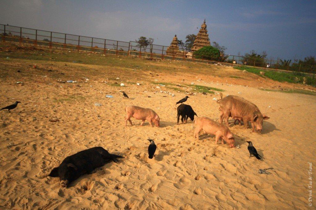 Pigs on the beach in Mamallapuram, India