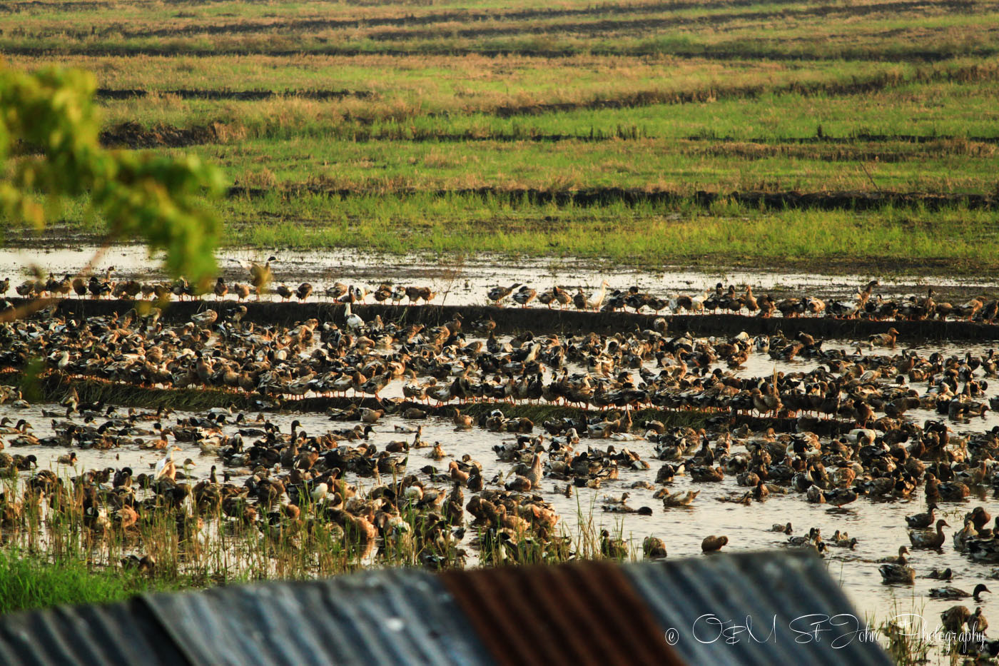 Flock of birds over the rice paddies in Kerala Backwaters. India