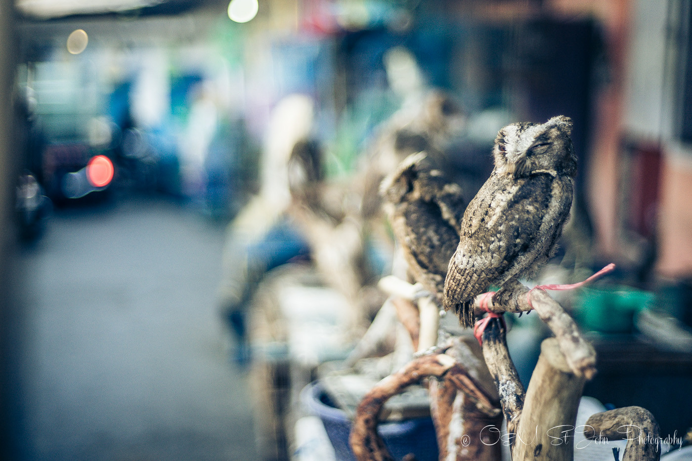 Owl for sale at the Malang Bird Market, East Java, Indonesia