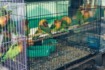 Cultural Close-Up: Bird Market in Indonesia