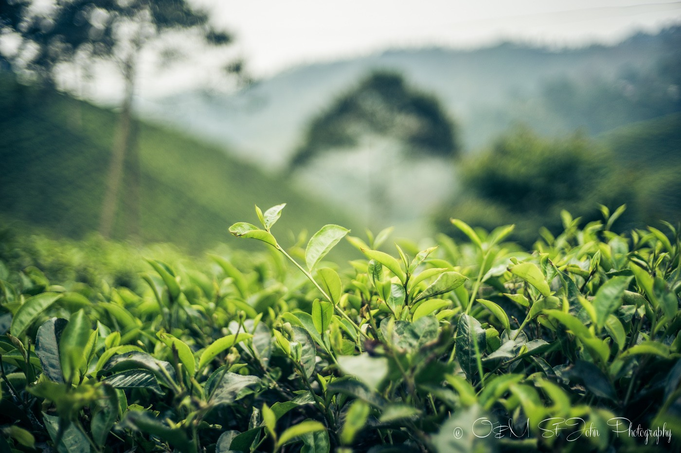 Tea plantation fill the countryside in Java. Indonesia