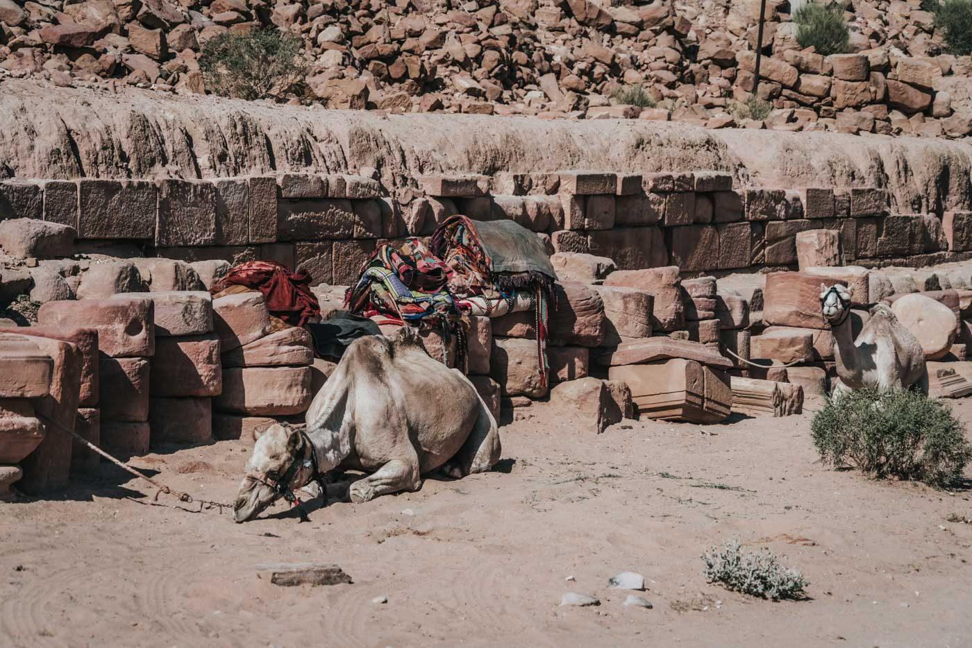 Camels resting in the heat in Petra, Jordan