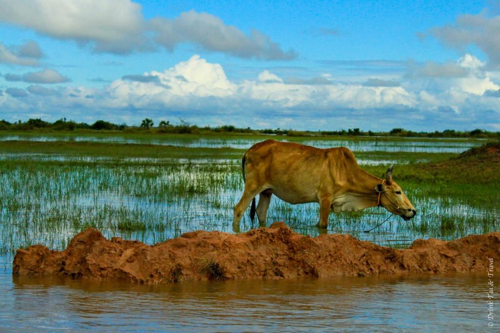 Cow feeding in Tonglé Sap