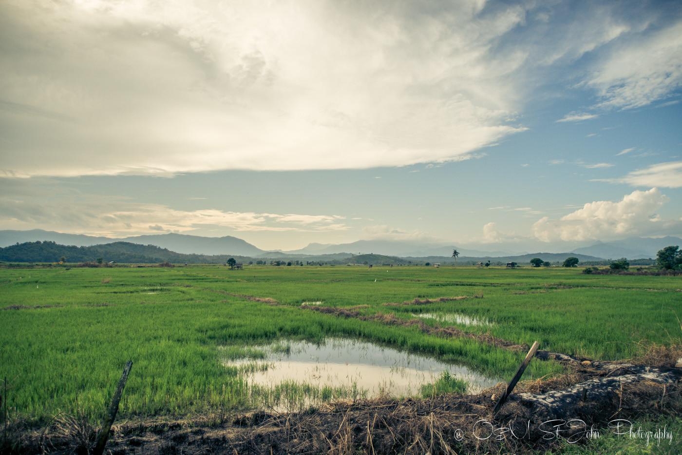 Rice paddies just outside of Kota Belud, Sabah, Malaysia
