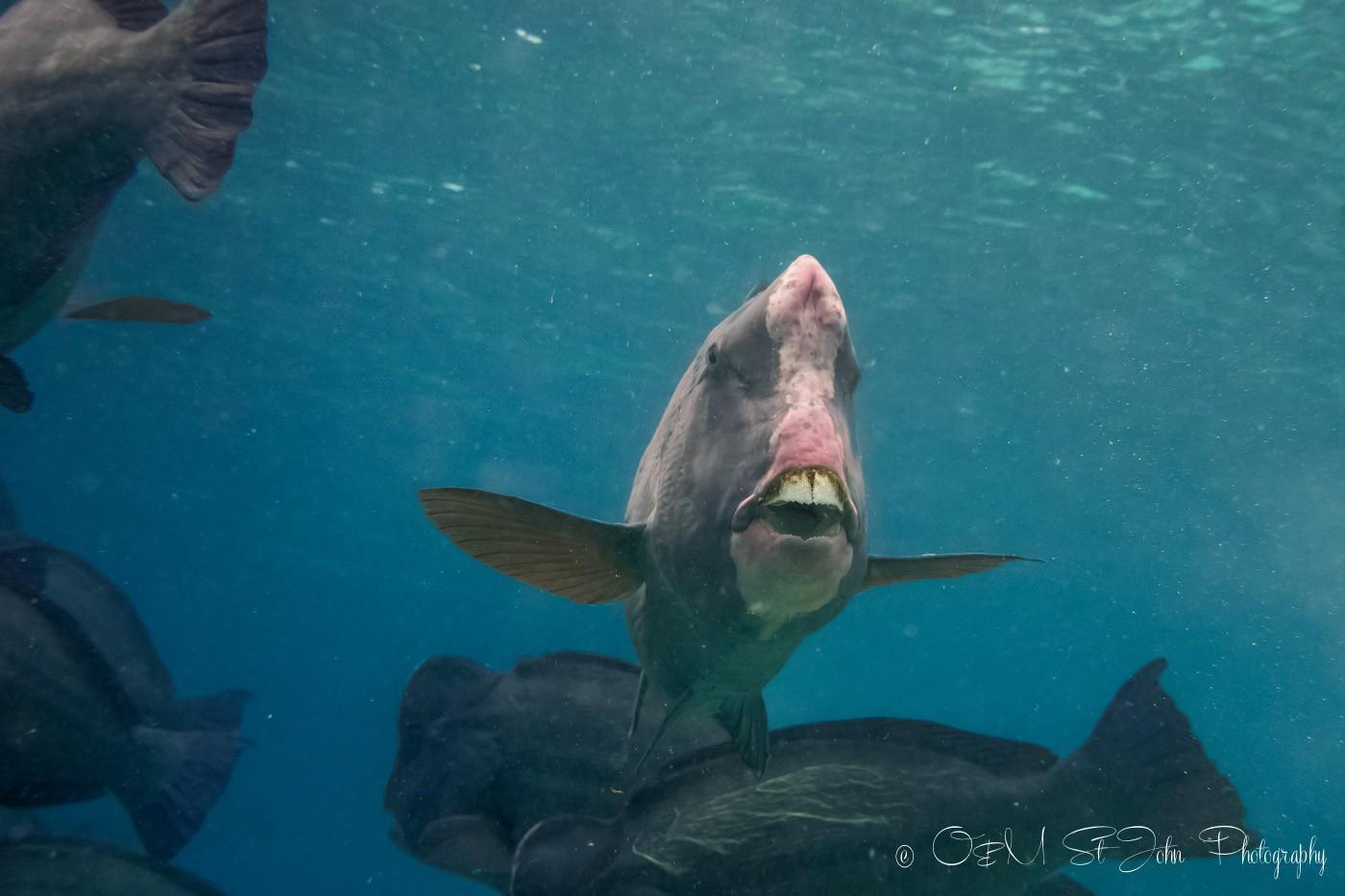 Green humphead parrotfish. Sipadan diving. Sabah. Malaysia