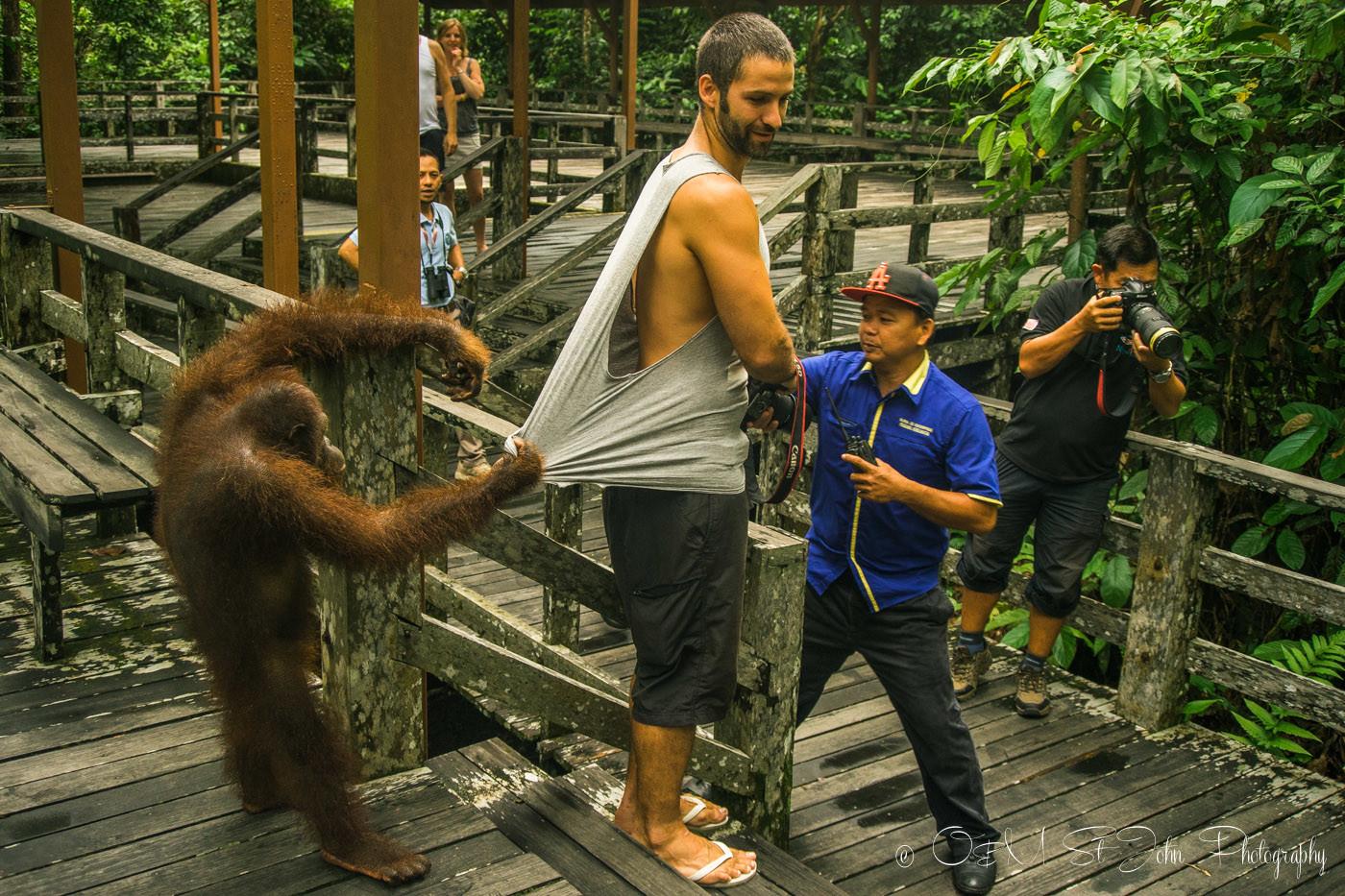 Borneo Orangutan pulls on Max's shirt at the Sepilok Orangutan Rehabilitation Centre. Sabah. Malaysian Borneo