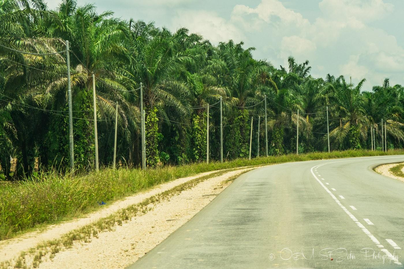 Palm oil plantation en route to Kinabatangan. Sabah. Malaysian Borneo