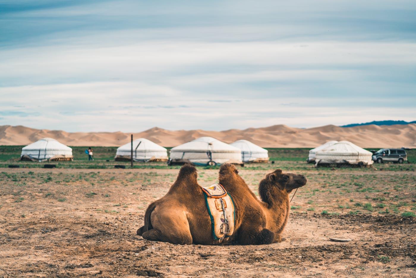 Camel resting near a ger camp at Khongoryn Els Sand Dunes, Gobi Desert