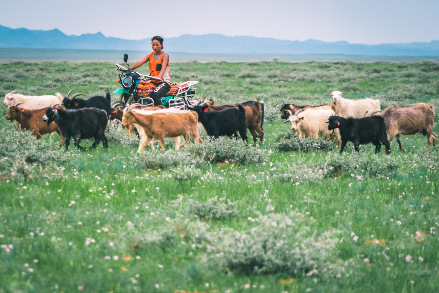 Local woman herding livestock on a motorcycle