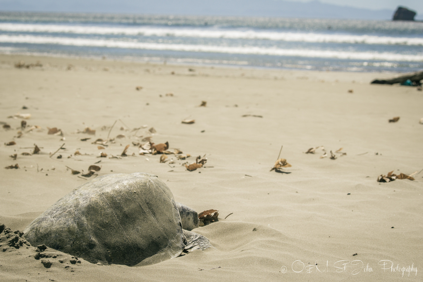 Turtle watching...Turtle laying eggs on Playa Hermosa, San Juan del Sur, Nicaragua