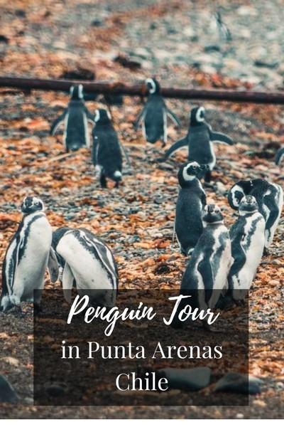 Penguins Tour in Punta Arenas Chile