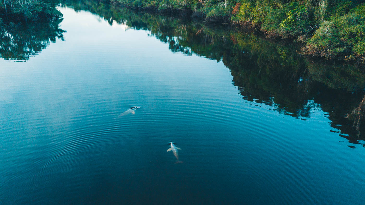 Majestic river dolphins in the Amazon