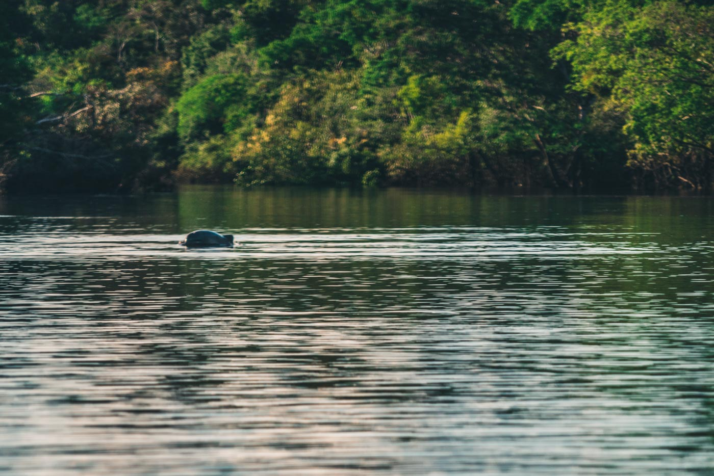 Amazon river dolphin breaches the water on Charo Lake in the Amazon