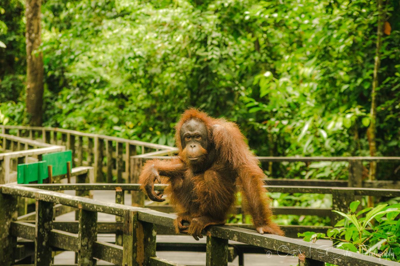 Orang utan in Sepilok Orangutan Rehabilitation Centre. Sabah. Malaysian Borneo