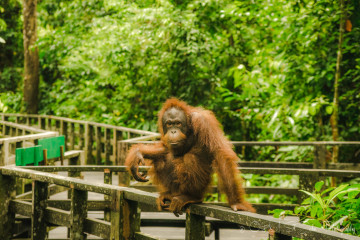 Where to See the Elusive Borneo Orangutan