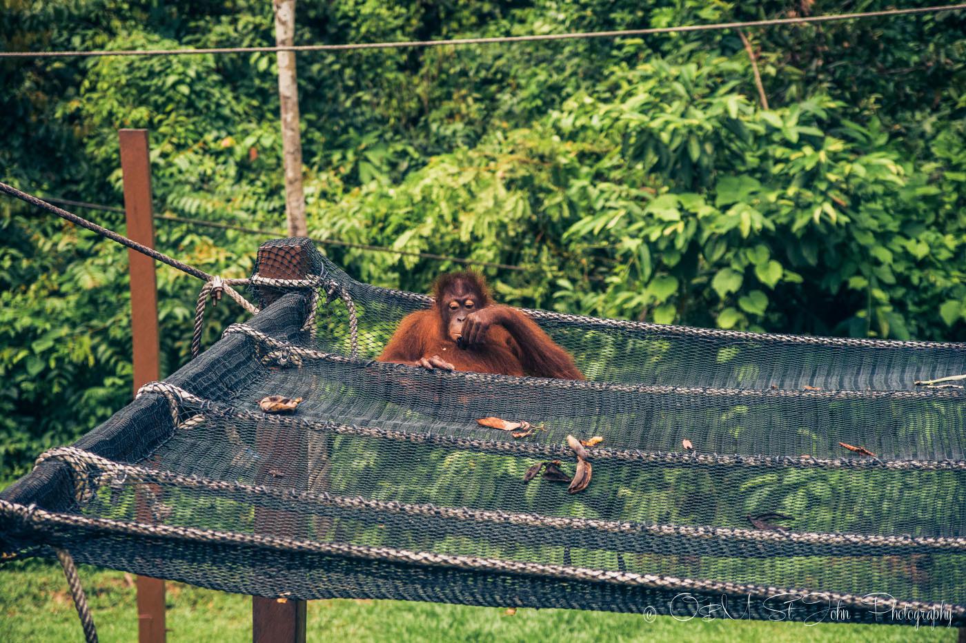 The elusive Borneo Orangutan