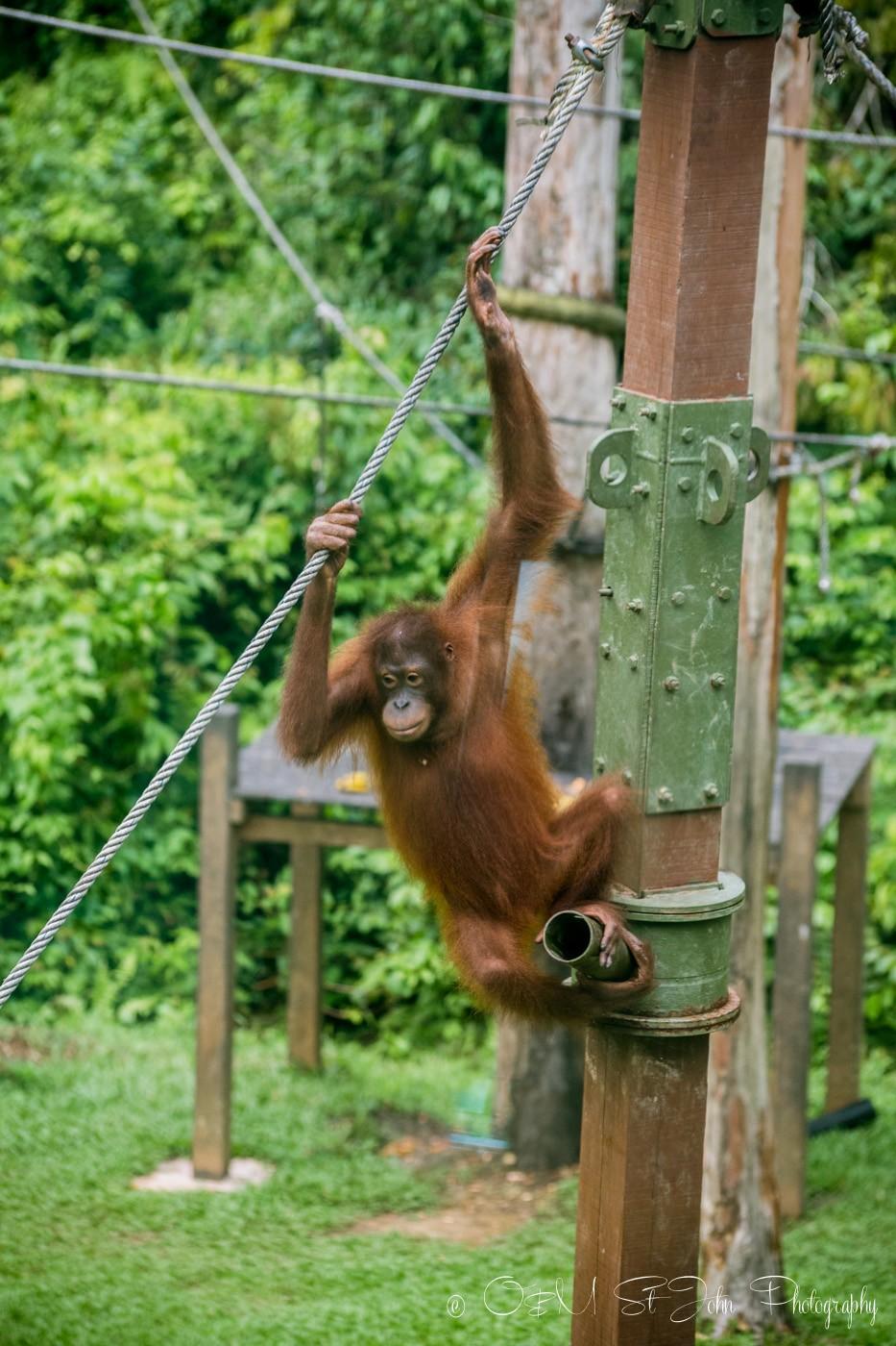 Borneo Orangutan in Sepilok Orangutan Rehabilitation Centre. Sabah. Malaysian Borneo