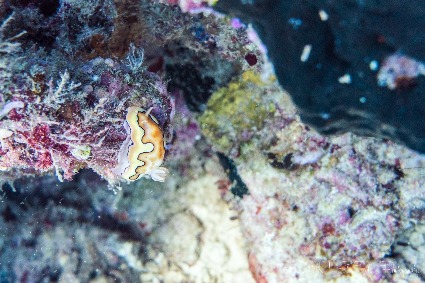 Nudibranch in Sipadan Island. Diving. Sabah. Malaysia. Borneo