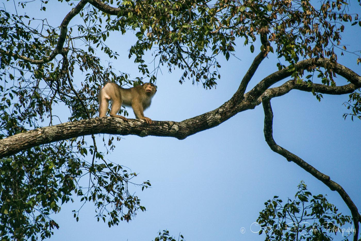 Short tail macaque on a tree along Kinabatangan River. Sabah. Malaysian Borneo