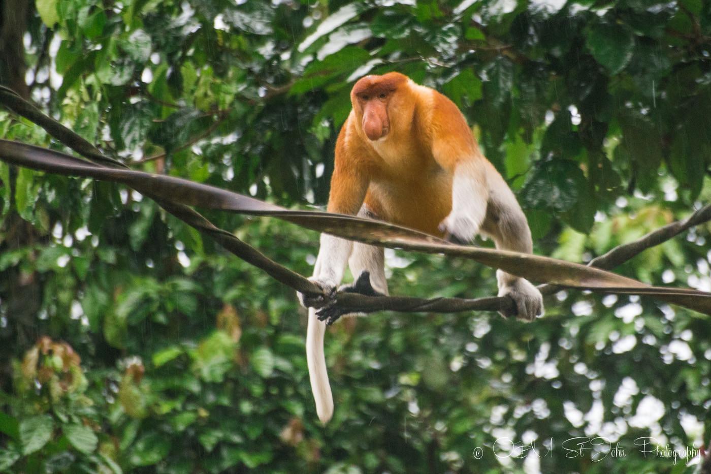 ethical wildlife tourism: proboscis monkey