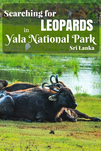 Yala National Park is known to have the highest concentration of leopards in the world and one of the best places for wildlife enthusiasts to spot these beautiful creatures in the wild, but there is so much more to Yala than that!