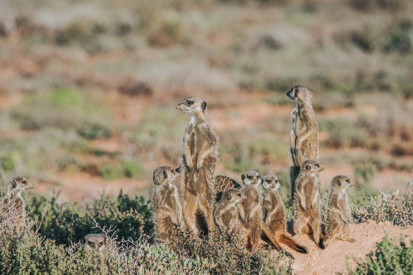 Meerkats experience, Outdshoorn, Garden Route