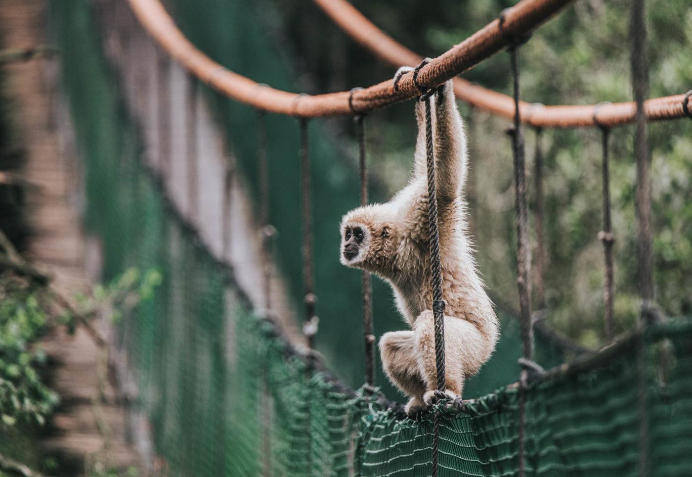 Gibbon at Monkeyland in Plettenberg Bay