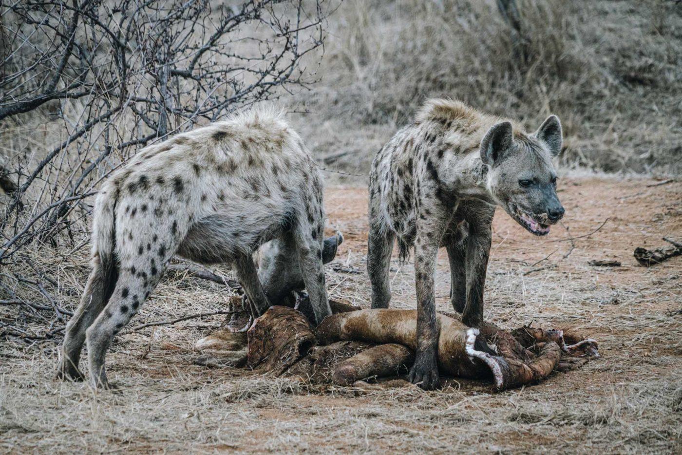 Hyenas crunching on giraffe kill after the lions had left
