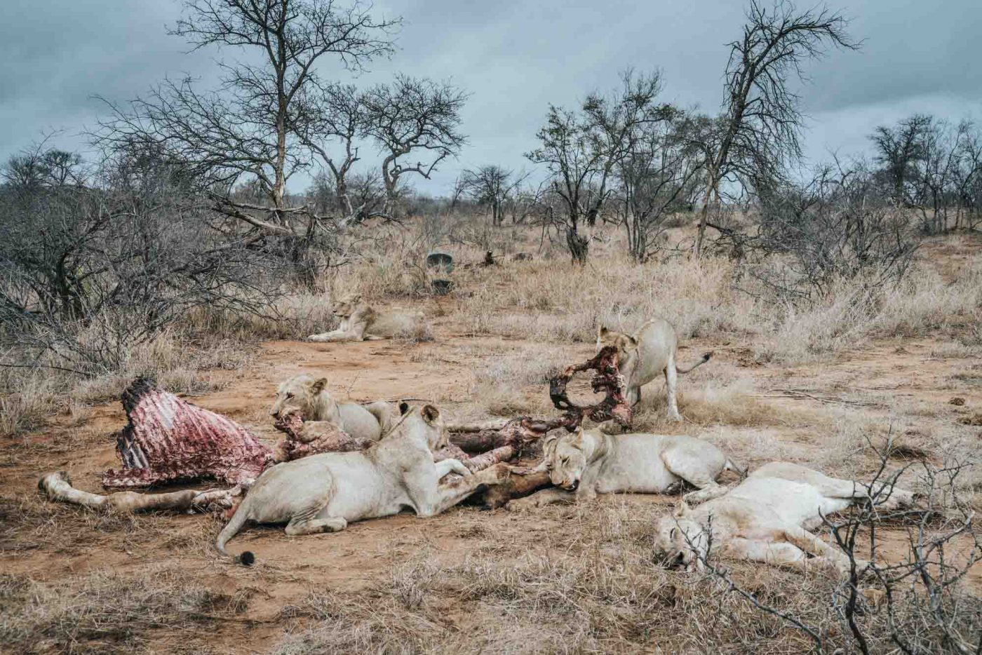 A pride of lions and their kill in Timbavati Nature Reserve