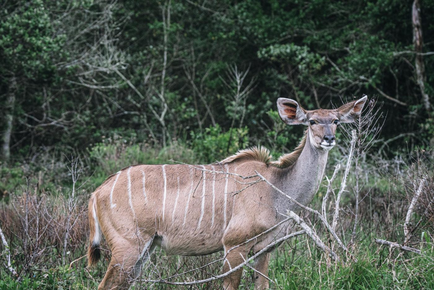 Kudu in iSimangaliso National Park