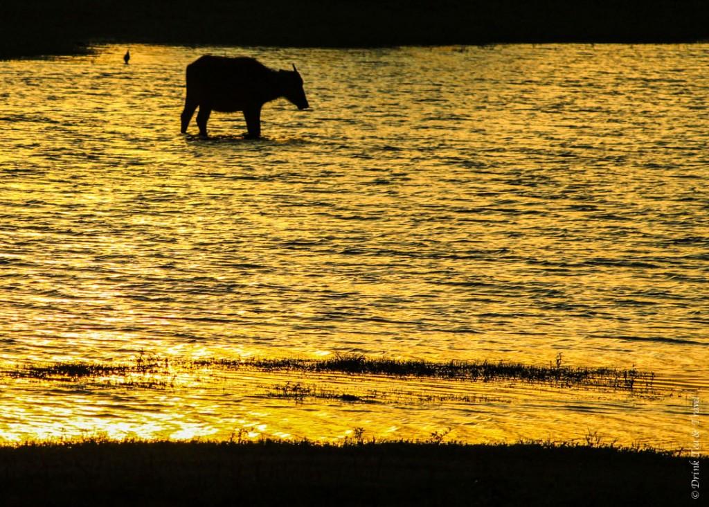 Water buffalo at sunrise in Yala National Park, Sri Lanka