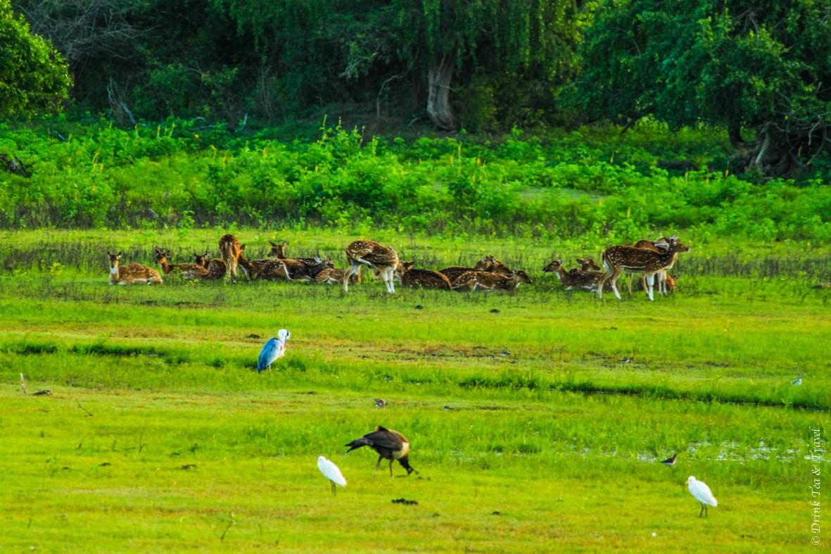 Deer gather near the lake in Yala National Park