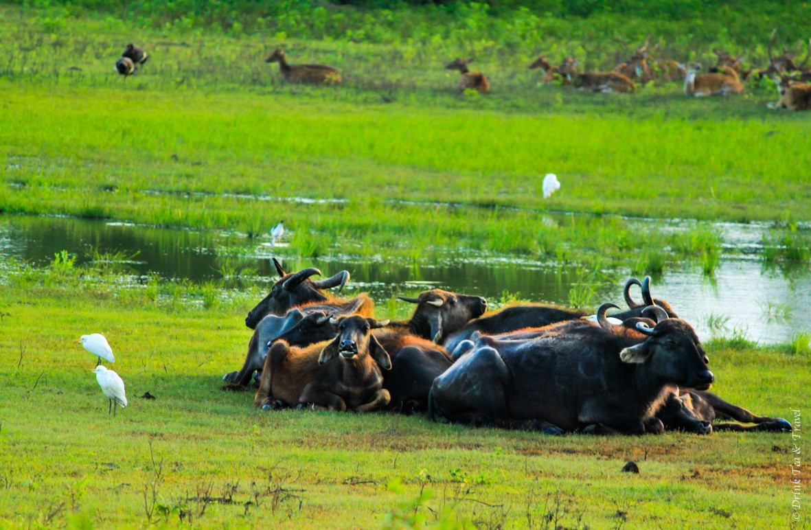 Water buffaloes are joined by other animals