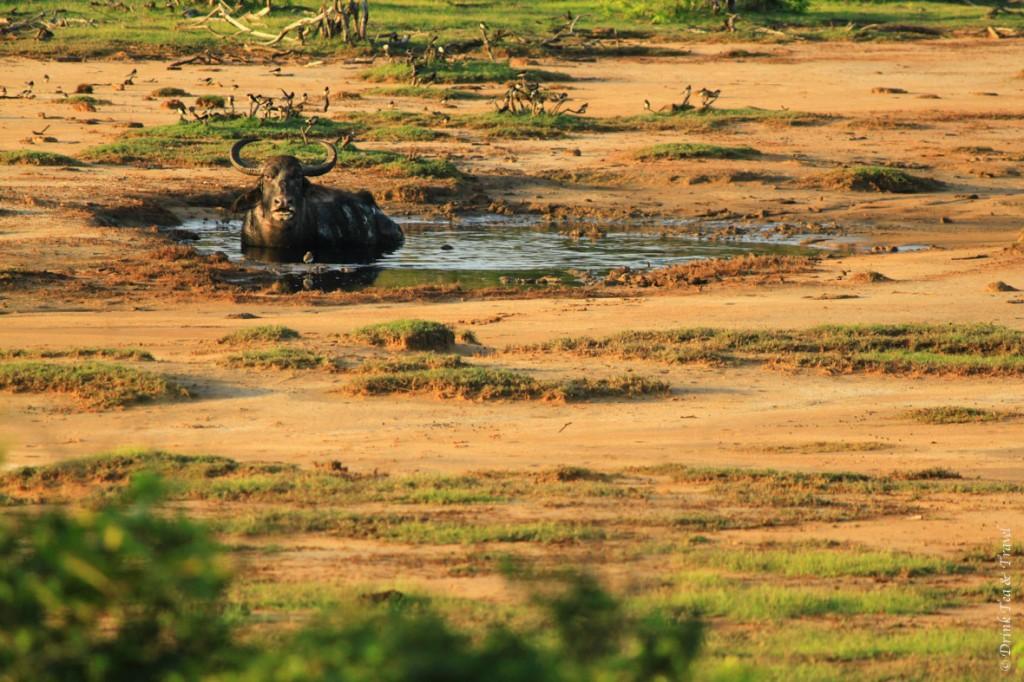 Water buffalo bathing in the morning sun in Yala National Park