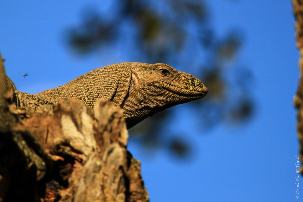 Monitor lizard in Yala National Park.. and a sneaky little mosquito just above her