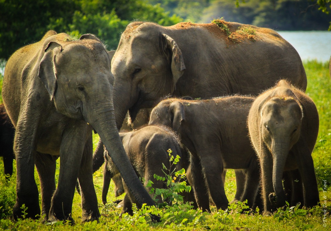 Family of elephants, just a few of over 300 that reside in Yala National Park
