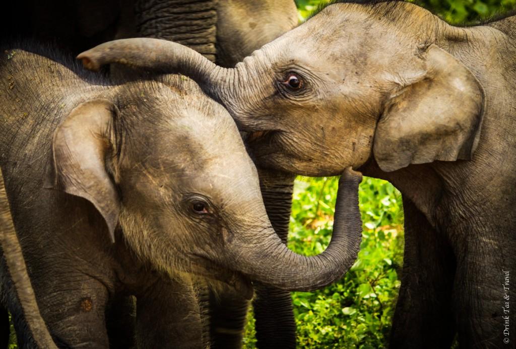 Baby elephants in Yala National Park