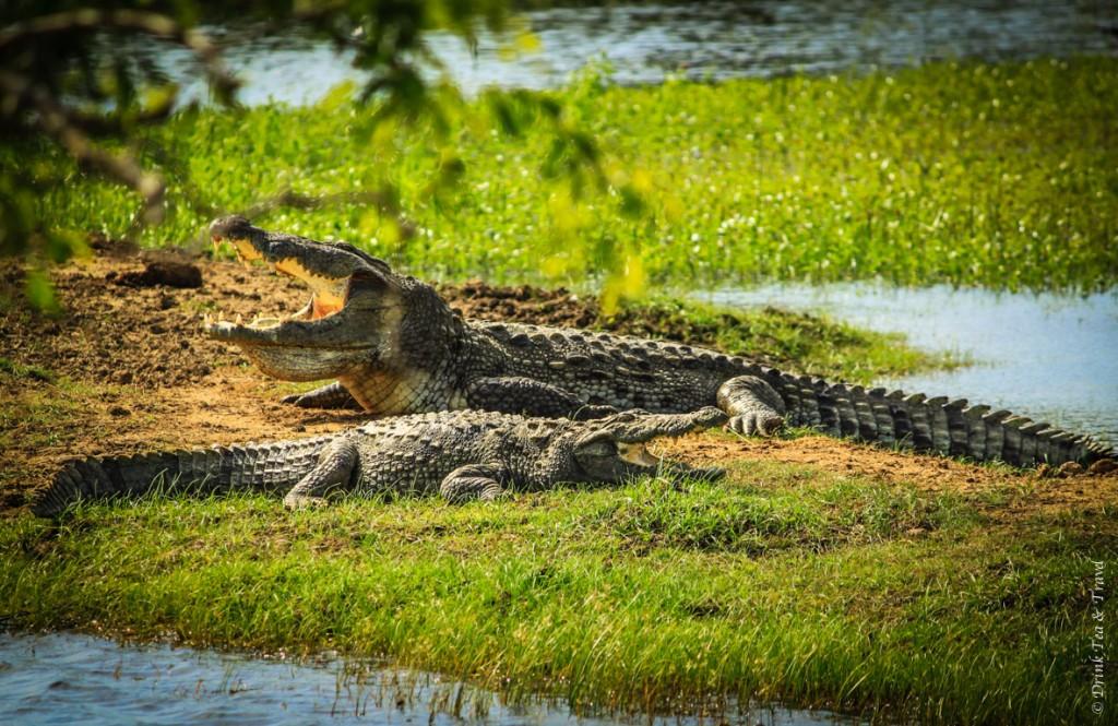 Mugger crocodiles cooling off in Yala National Park