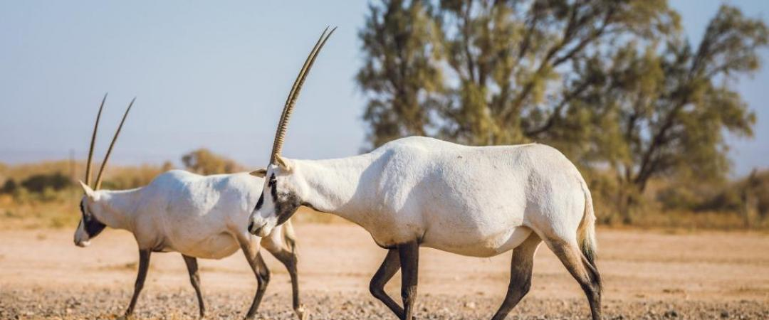 Oryxes in Shaumari Wildlife Reserve, Jordan
